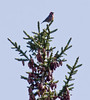 White-winged Crossbill male, atop Black spruce, May, Phippsburg maine