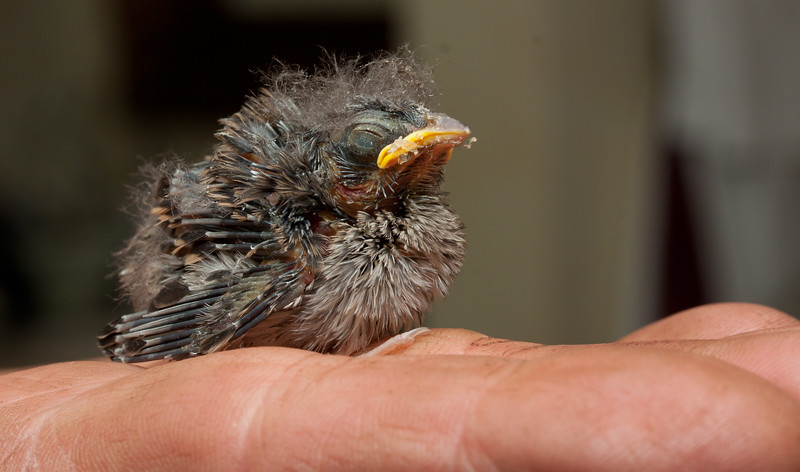baby bird, perched on fingers, species unidentified, June, Phippsburg, Maine