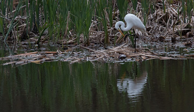 Great Egret with Eastern Painted turtle in a small pond, Bath, Maine spring scene, May 16, 2014