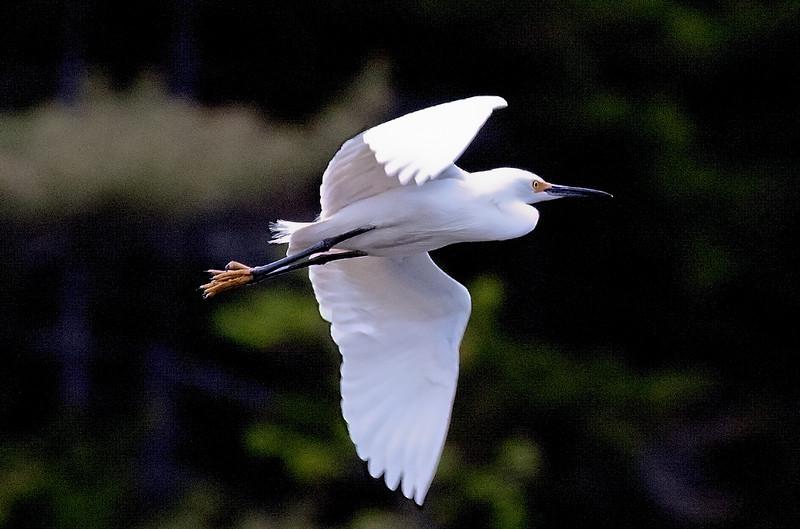 Snowy egret in flight, right facing