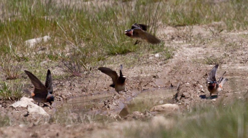Cliff Swallows picking mud for nest building, May, Phippsburg Maine