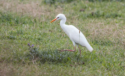 Western Cattle Egrets, Bubulcus ibis were introduced into Hawaii in 1959. They are often seen riding the backs of livestock. They pick ticks and other insect predators from the backs of cattle and they eat insects and small invertebates and reptiles kicked up where the livestock walk.  They have few predators. This, combined with the somewhat beneficial relationship with livestock has facilitated the rapid spread of these birds virtually across the planet. They were originally believed to have come from Spain and Africa.