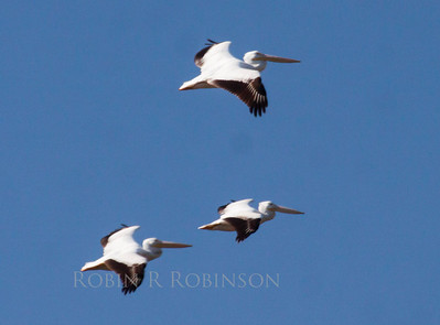 Pelecanus erythrorhynchos, American White Pelican, American White Pelicans in flight, trio photographed in south Florida in The Everglades National Park, March, 2013