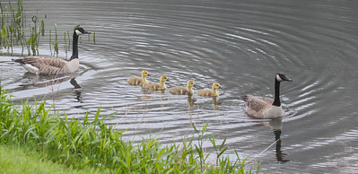 Canada geese, goslings, May, Phippsburg Maine