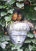 North Amercian robin chicks still in the nest built in the decorative wall planter of a stone woman's head tucked into Baltic English ivy, Phippsburg, Maine garden scene with birds, summer