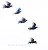 White doves in flight, flock, Phippsburg Maine, Parker Head Road