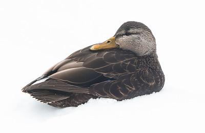 American Black Duck, Phippsburg, Maine