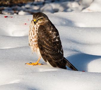 Sharp-shinned hawk, Warren, Maine, January