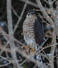 A Sharp-shinned hawk  hunting at my bird feeders in winter, Phippsburg Maine December. This bird has committed murders at the feeders every day. The feathers of its kills are the evidence of Mourning Doves which appear to be its favorites, Juncos and American Goldfinches.
