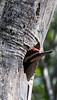 Pileated Woodpecker, male, our largest woodpecker