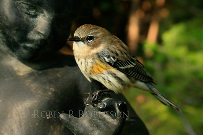 "Yellow Rumped ""Myrtle"" warbler, passerine, small bird perched on garden statue of child, PHippsburg, Maine coastal garden"