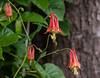 Eastern Red Columbine,  Wild Columbine<br /> Aquilegia canadensis<br />  Buttercup family (Ranunculaceae) Phippsburg, Maine wildflower