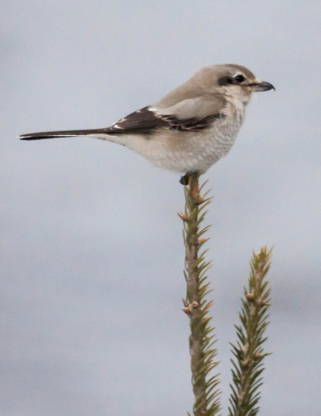 Northern Shrike, photo taken through living room windows. Bird perched on tip of balsam tree. This is the third shrike I have seen at my bird feeders this winter. These are our only predatory song birds. They are birds of the northern forests and don't usually wander this far south. Phippsburg Maine January