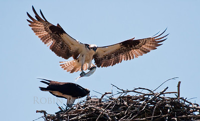 Osprey male flying into nest with Alewife, a type of river herring, Phippsburg, Maine. Osprey, also called Fish Hawks, Pandion haliaethus is a migratory bird of prey in Maine. This large raptor hunts only live fish. It hovers in the air over water to see fish then plunges feet first to capture fish.