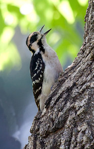Hairy woodpecker vocalizing while perched on side of Green Ash tree, Phippsburg, Maine