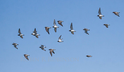 Flock of Ruddy Turnstones in flight, Sanibel Island, south Florida, March 2013. These were a life bird for me. We do have them in Maine where they are very migratory.
