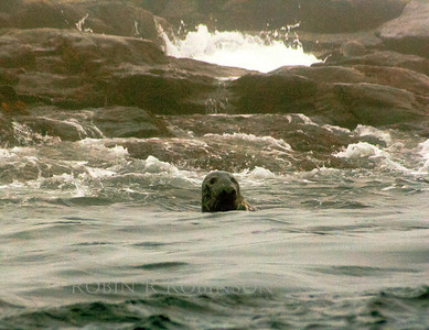 Harbor Seal swimming in surf, Maine coast marine mammal