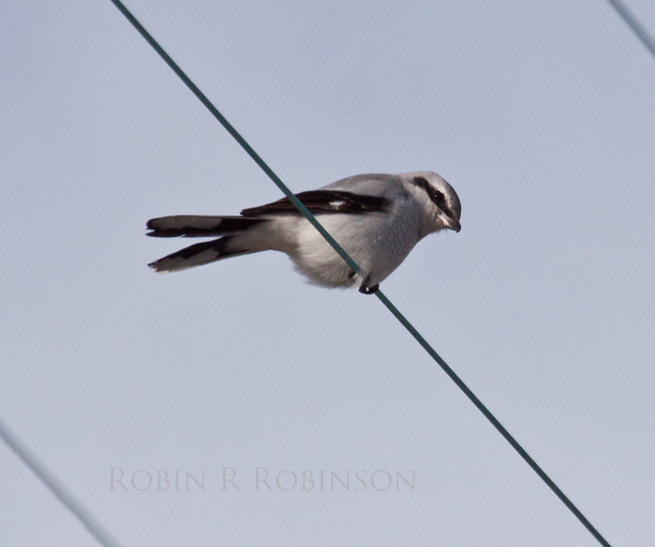 Northern Shrike, a predatory boreal songbird, Phippsburg, Maine February 2013, Sebasco Harbor