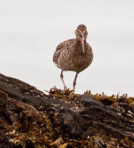 Willet, migratory shore bird, Phippsburg, Maine