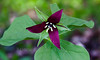 """Trillium erectum, also known as Wake-robin, Red trillium, Purple trillium, Beth root, or Stinking Benjamin is a spring ephemeral wildflower in Phippsburg, Maine For a list of protected and endangered wildflowers in Maine see <a href=""""http://plants.usda.gov/java/threat"""">http://plants.usda.gov/java/threat</a> Wildflowers should be left undisturbed where they are found. To uproot and attempt to transplant them puts the species at risk. Wildflowers are dependent on very specific soil, water and light requirements which a home gardener can rarely reproduce."""