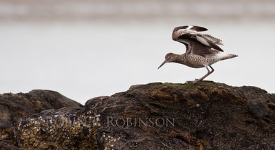 Willet stretching wings on rocks, Sagadahoc County shore bird, migratory, Phippsburg, Maine, spring, Small Point