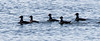 Surf Scoters are also called Skunkheads from the white stripe down the back of their heads and necks. Here, a pod of drakes is squiring around a single hen on the left. Phippsburg Maine, Totman Cove. These birds are most often seen in the fall, winter and spring months along the coast.