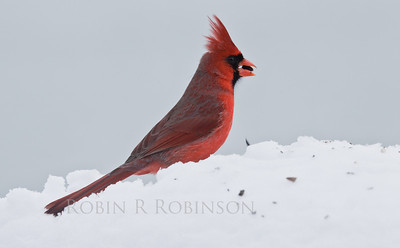 Northern cardinal with seed in snow, PHippsburg Maine winter, male