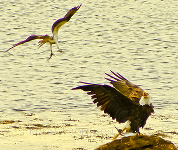 Bald eagle adult guarding its catch of Striped bass from an attacking Osprey, Phippsburg Maine, May 2007.