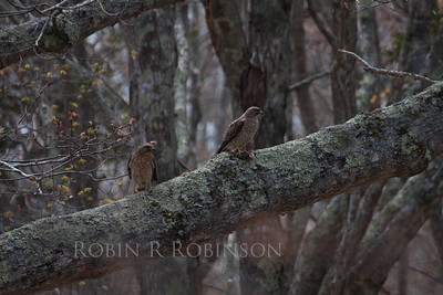 Broad-winged hawks, Buteo platypterus , mated pair, the one on the right has a Chipmunk for its dinner, May 2013, Phippsburg, Maine. These birds have a nest near this perch. They were making a lot of noise crying and calling out to each other about this catch.