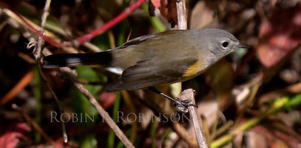 American Redstart, female in shrubs, Phippsburg, Maine, migratory songbird