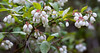 white flowers of low bush native Blueberries, indigenous shrub, Phippsburg, Maine, spring