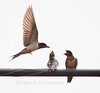 Barn Swallow in flight feeding a fly to her fledglings, summer, Phippsburg, Maine