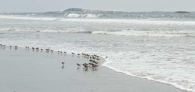 . Migratory shorebirds staging for migration, July 26, 2014, Seawall Beach, Phippsburg Maine. Most of these birds were Semi-palmated Sandpipers, Semi-Palmated plovers and Sanderlings.