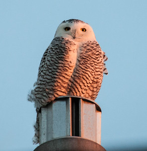 Snowy owl, Biddeford Pool, Biddeford Maine, January. 2014 has seen the greatest incursion of Snowy owls in history. January 8