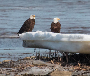 The pair of Bald eagles  was sitting on an ice flow on Winnegance Bay as seen from Phippsburg in March. This is a mate pair, male and female, that have a nest nearby.