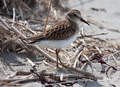 Least Sandpiper, Seawall Beach, Phippsburg Maine during shorebird fall migration