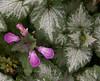 """Lamium, """"Dead Nettle"""" blossoms with leaves, Phippsburg garden, Maine"""