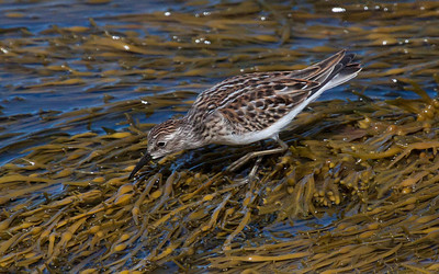 White-rumped sandpiper, migratory shore bird in Phippsburg, Maine