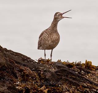 Willet vocalizing, coastal Maine, Small Point, Phippsburg Maine shore bird, spring