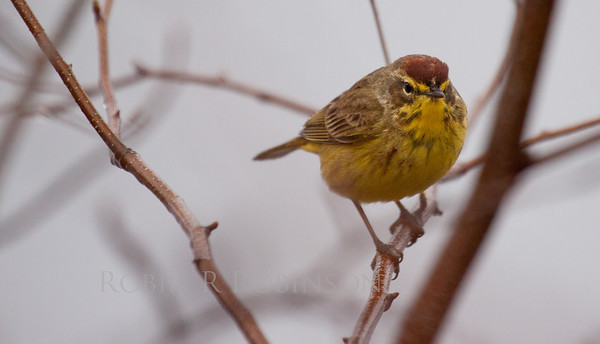 Palm warbler, frontal view close up, Phippsburg, Maine spring migratory songbird