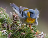 Northern Parula, Phippsburg, Maine migratory song bird.. Northern Parulas are migratory warblers in Maine..  Setophaga americana, Northern Parula is a migratory, songbird in Maine