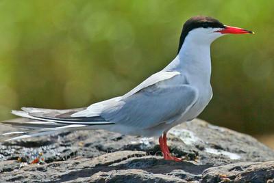 Common Tern standing, right facing, Phippsburg, Maine