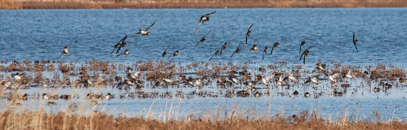 Green Winged Teal ducks and Northern Pintail ducks in flight on salt marsh, Edwin B Forsythe National Wildlife Preserve, New Jersey. Both of these species occur commonly in Maine but are migratory.