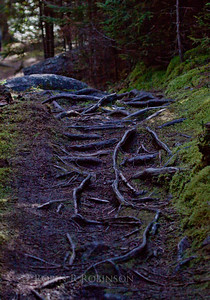tree roots of a well worn woodland path on Monhegan Island, Maine with moss on the sides of the path