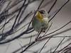 Common Yellowthroat Warbler, Geothlypis trichas.  Common Yellowthroat warbler, female, spring migratory warbler, Phippsburg, Maine May 2013,  Common Yellowthroat warbler Geothlypis trichas