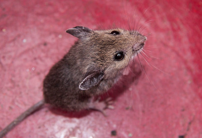 Baby Field Mouse, Phippsburg Maine