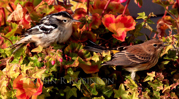 "Black And White warbler, Yellow-rumped or ""Myrtle"" warbler sitting in geraniums, Phippsburg Maine fall"