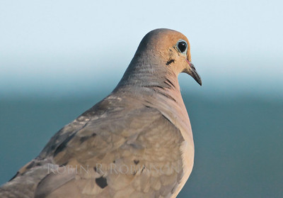 Mourning dove head shot, detail, right facing, Phippsburg, Maine