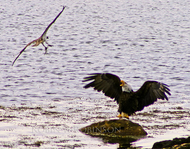 Bald eagle adult gaurding catch of Stiped Bass from Osprey attack, Phippsburg, Maine, May, 2007