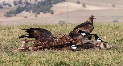Golden Eagles in Utah. I photographed these Golden Eagles in Utah on the border to Colorado. They were eating a carcass of probably a Mule deer. Eagles are scavengers, after all. The black and white birds are Magpies. We don't have Magpies in Maine, but we do have Golden eagles. One is being seen at the Bath Landfill and one was recently reported in Phippsburg. It's possibly the same bird as both are juveniles.